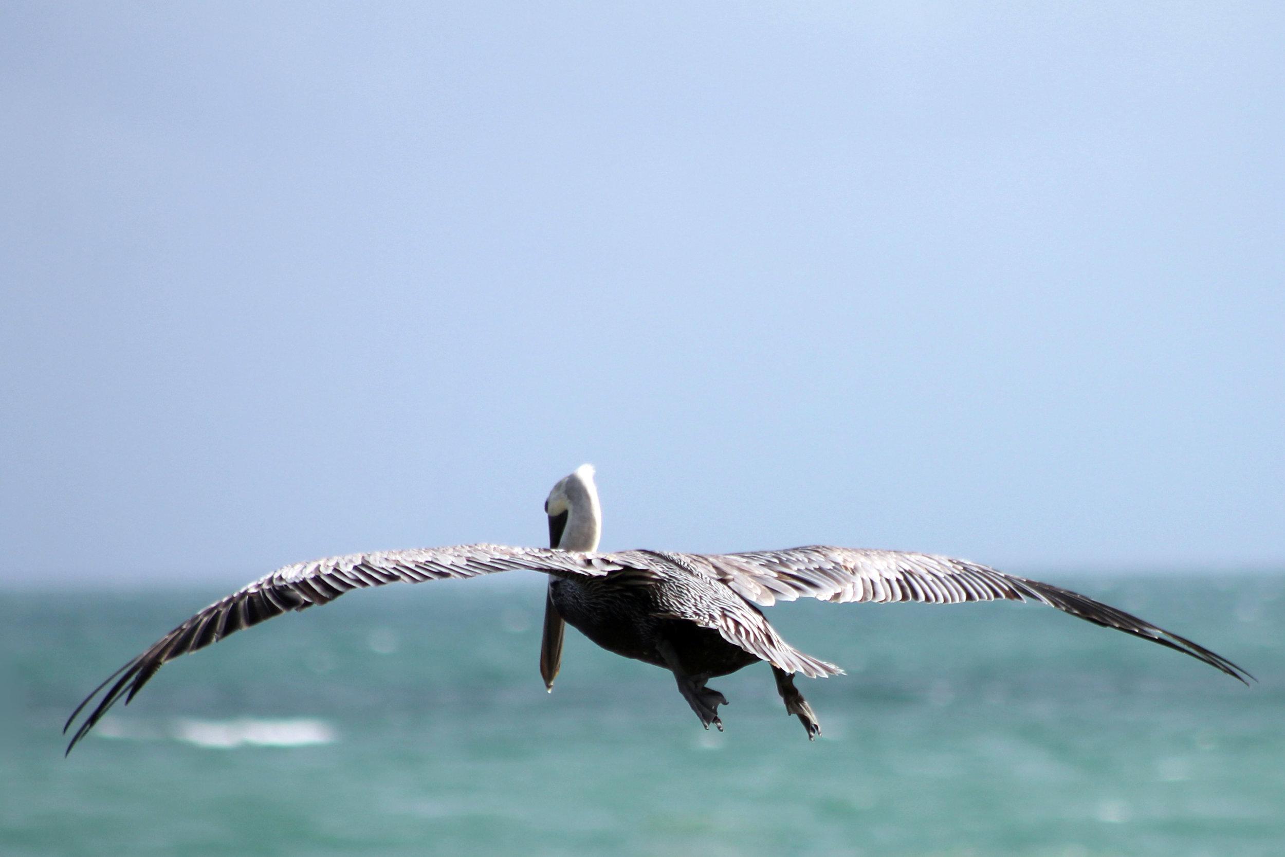 pelican flying away.jpg