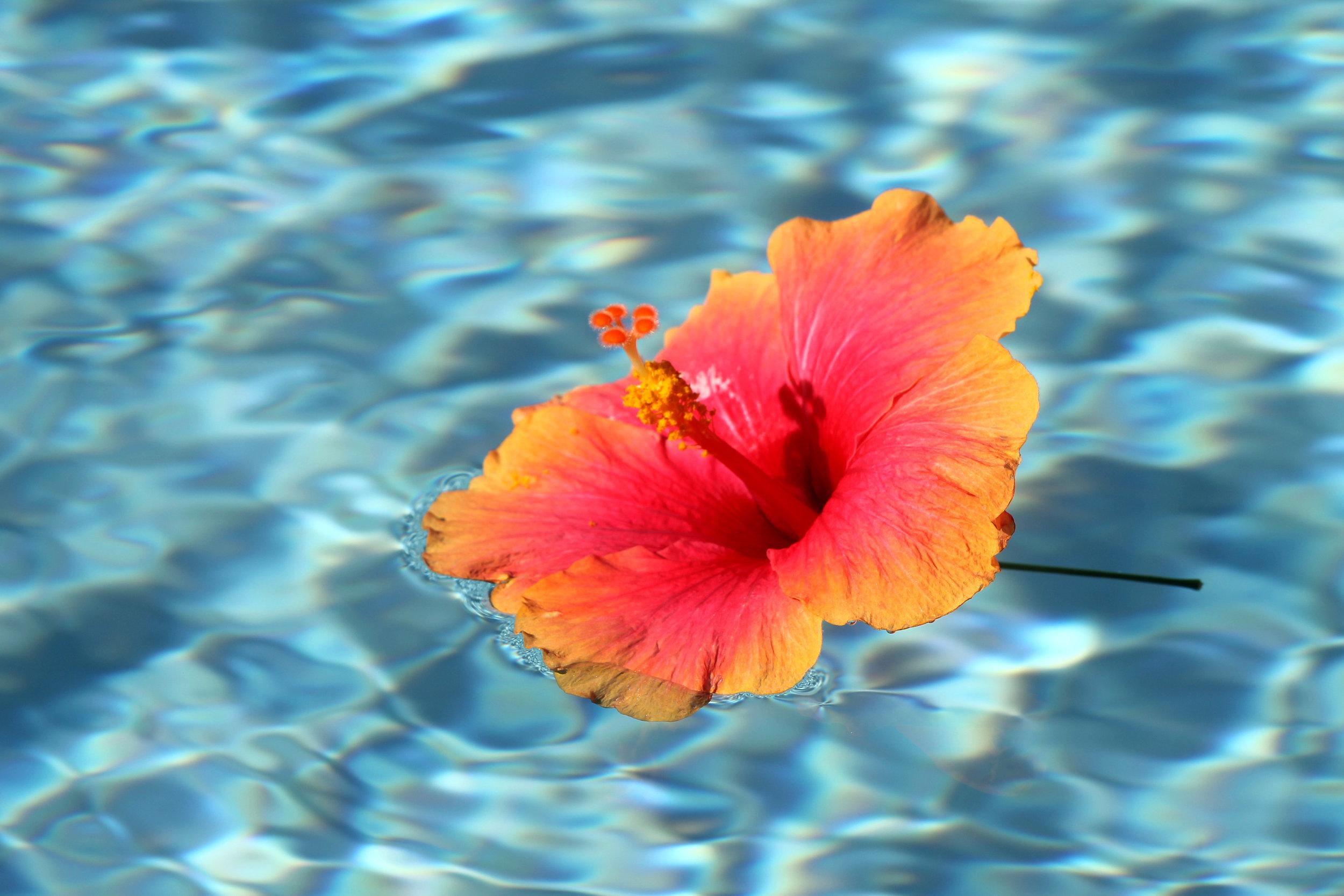 floating hibiscus.jpg