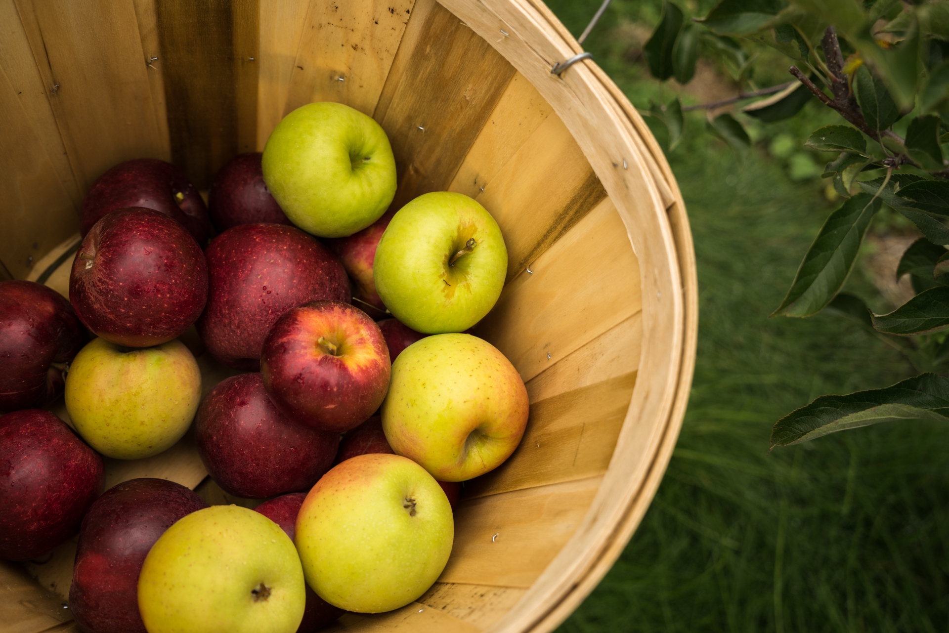 Apple picking with 18 family members in Michigan!