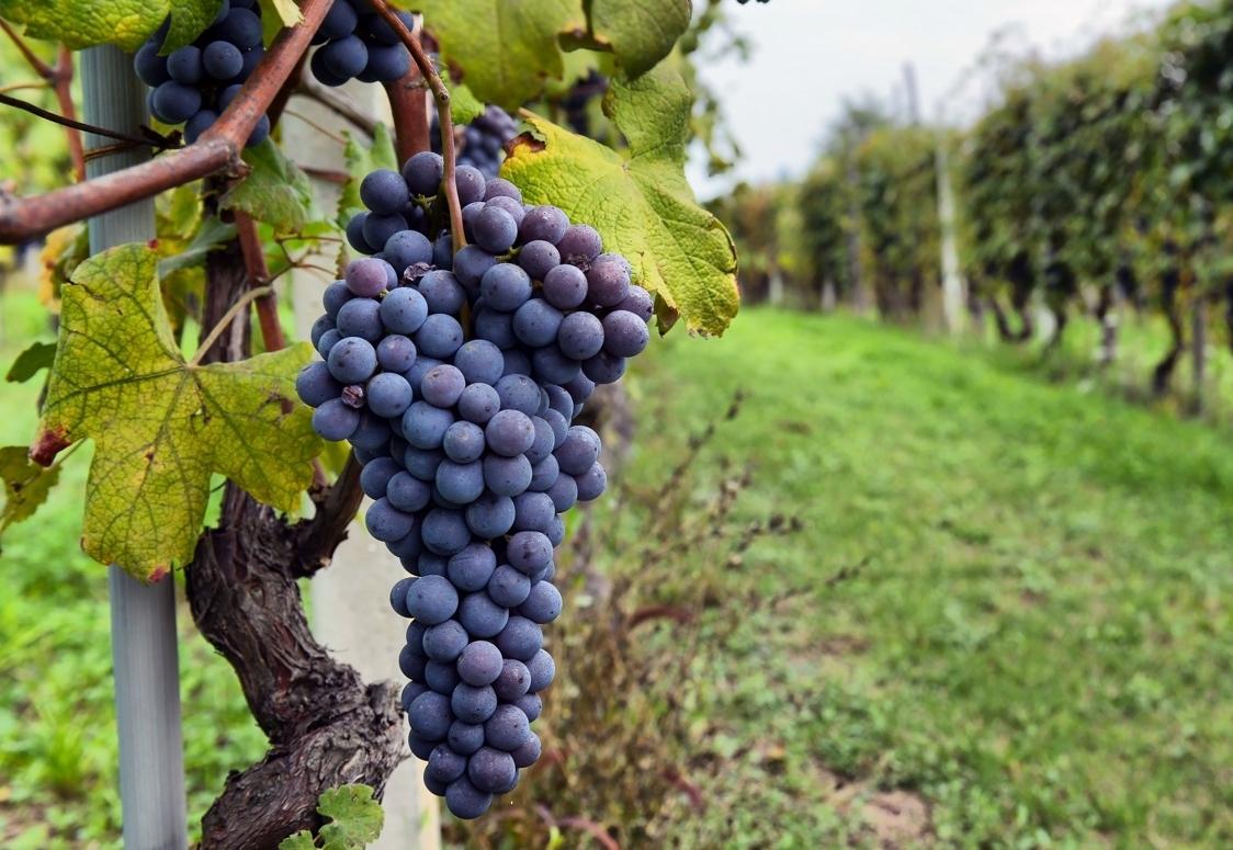 vineyard-grapes.jpg