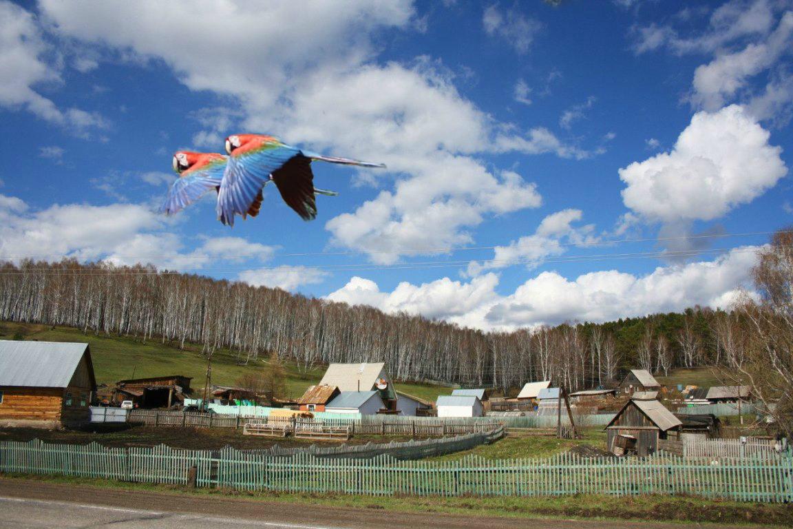 Macaws_flying_over_Siberia.jpg