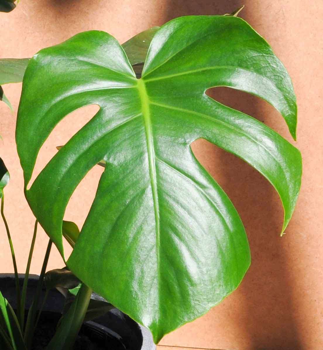 Monstera Deliciosa:Care 101 - Move over Fiddle-Leaf fig, it's time to shine light on the Monstera!