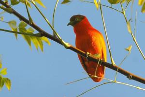 Orange fruit dove 2.jpg