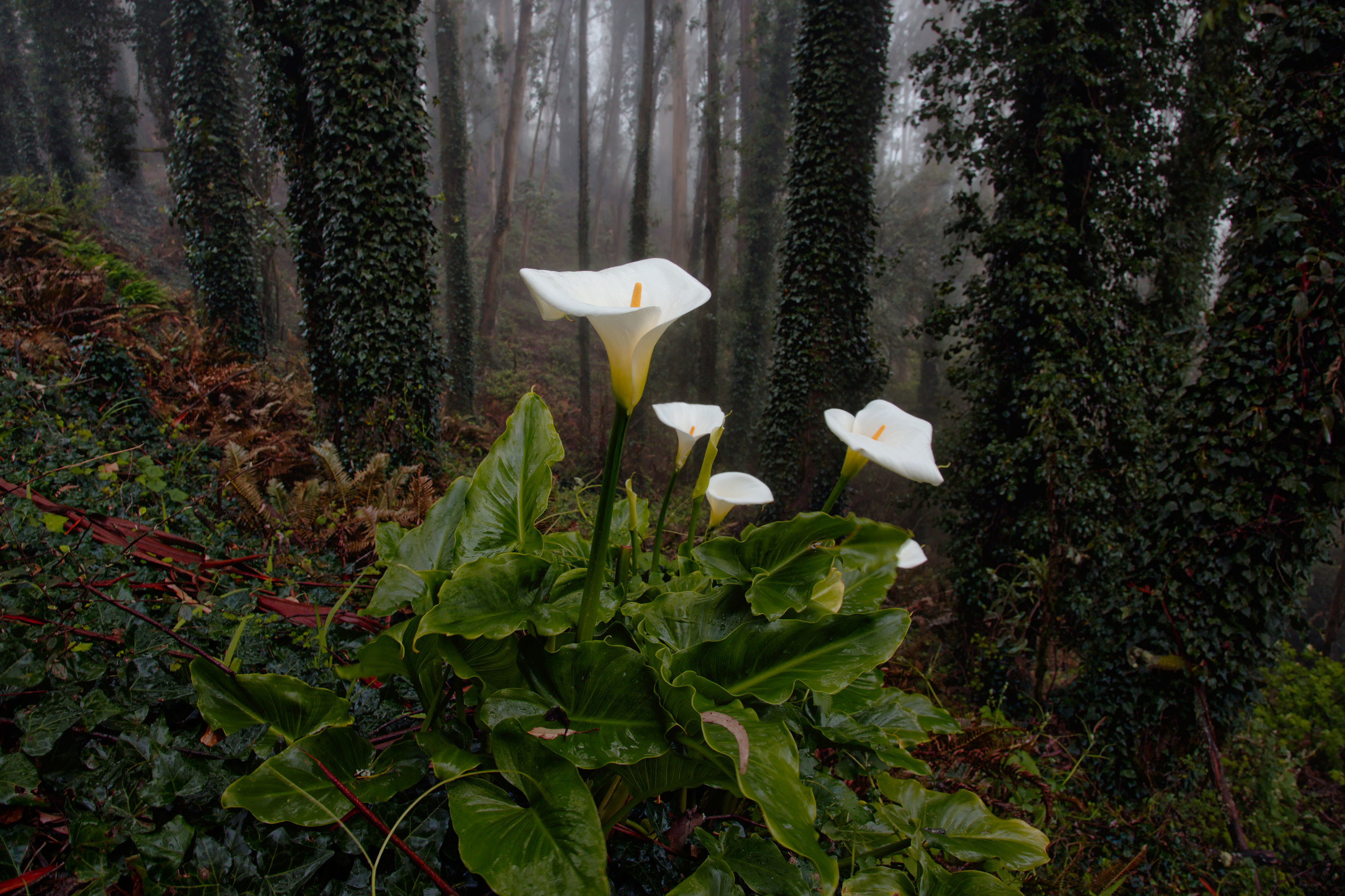 Lillies in the Fog
