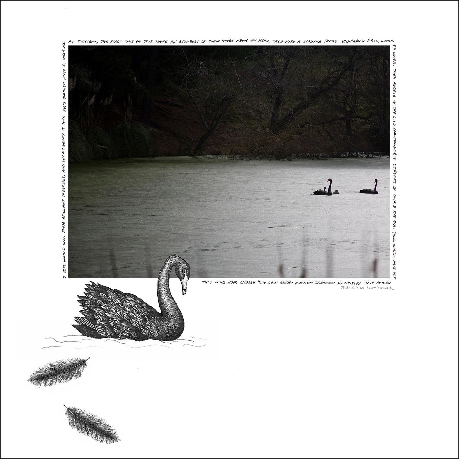 Swans2_web.jpg