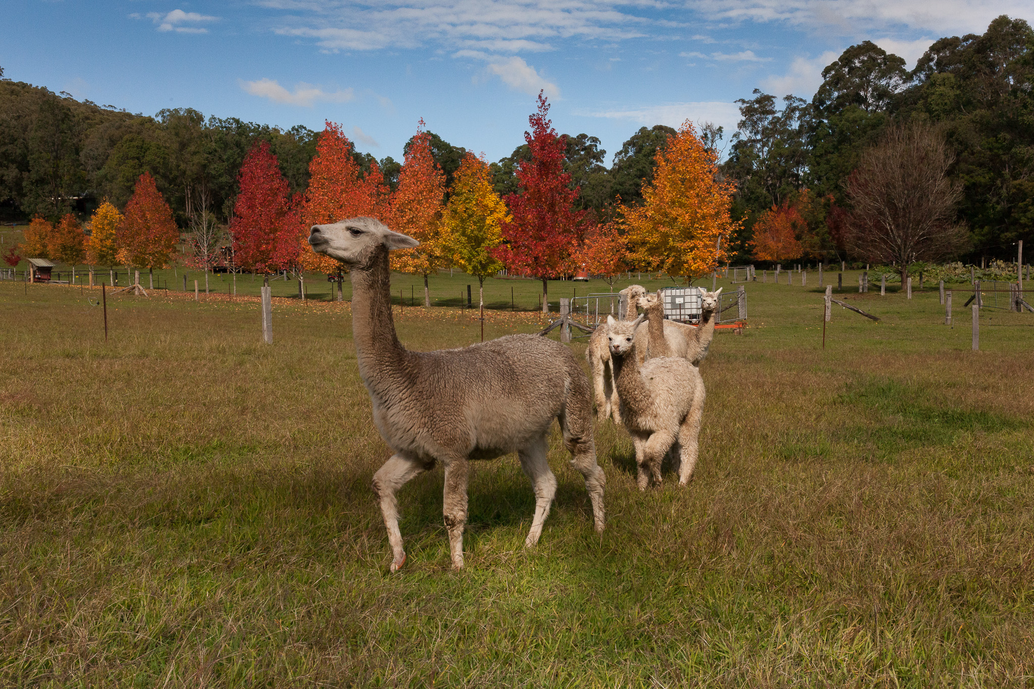 When purchasing an alpaca from Little Valley Farm please ensure you have your PIC code ready and can be easily obtained from your Local Land Services. Refer to the link above to obtain yours. We will now include your PIC number on our invoice for traceability.  Image above courtesy of Cheryl Warning. Autumn 2017 at Little Valley Farm.