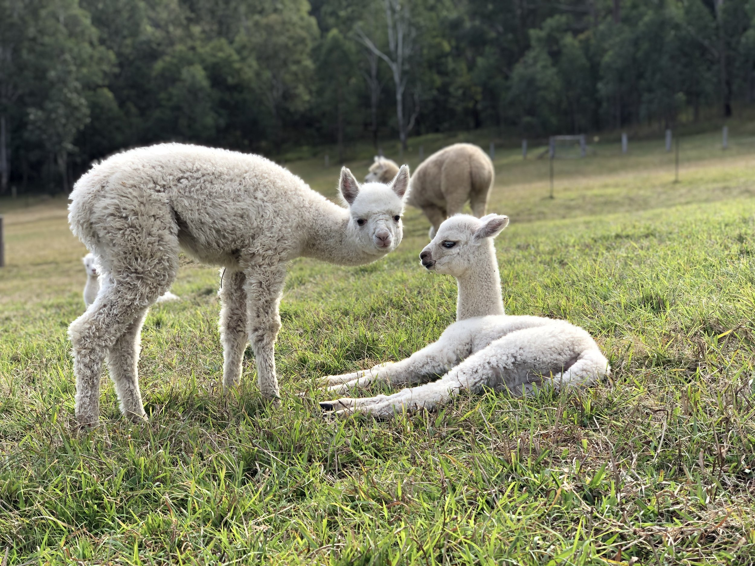 Alpacas are herd animals. - Our alpacas are sold in pairs.MEET ROSCOE & BOEY.