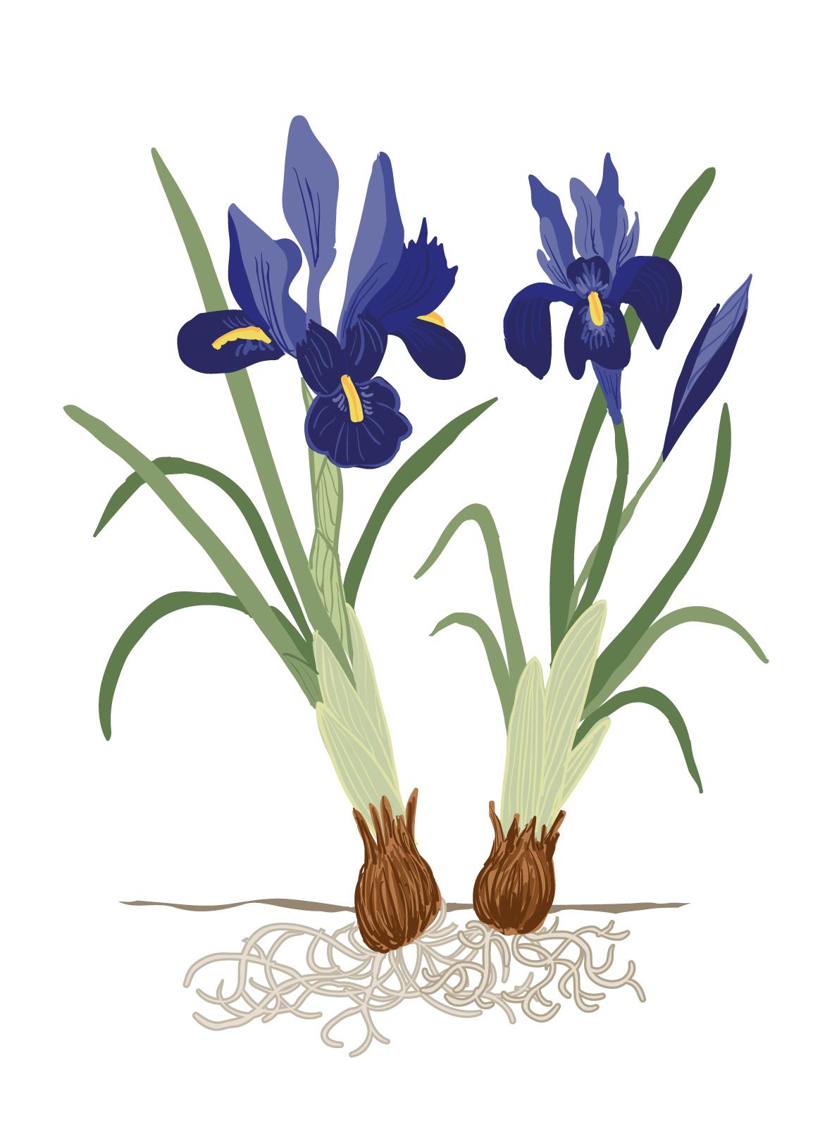 REGAIN - Iris - Couleurs.jpg