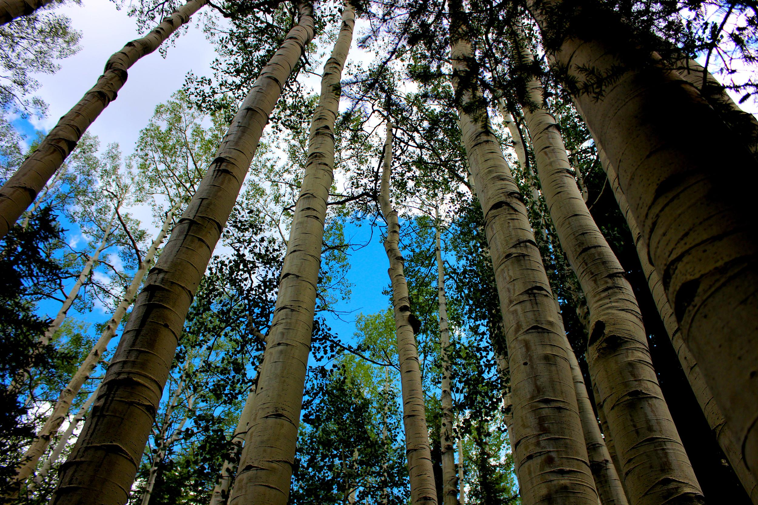 Aspen_forest.jpg