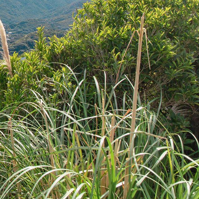 Piha (1/6) . . . . . . . . #newzealand#travel#adventure#karekare#piha#auckland#purenz#nz#beautiful#newzealandtrip#thisisnz#dji#mavic2pro#green#lush#fields#hills#goldenhour#visitnz#canon#5ds#beach#blacksandbeach#maori#statue