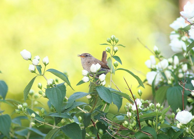 Willow Wren