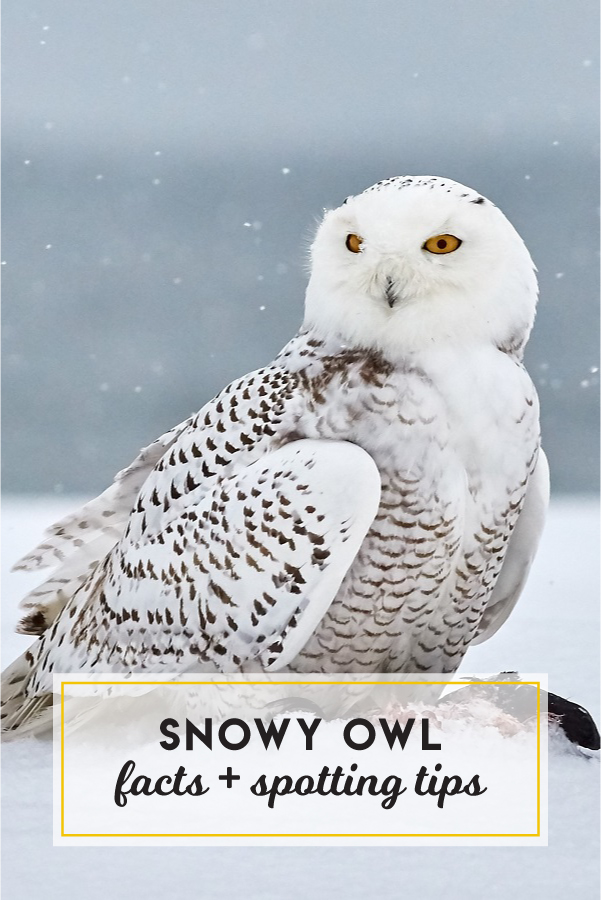 Snowy owl facts + spotting tips