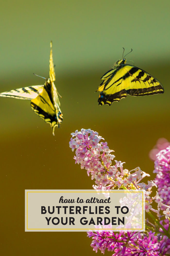 How to attract butterflies to your garden
