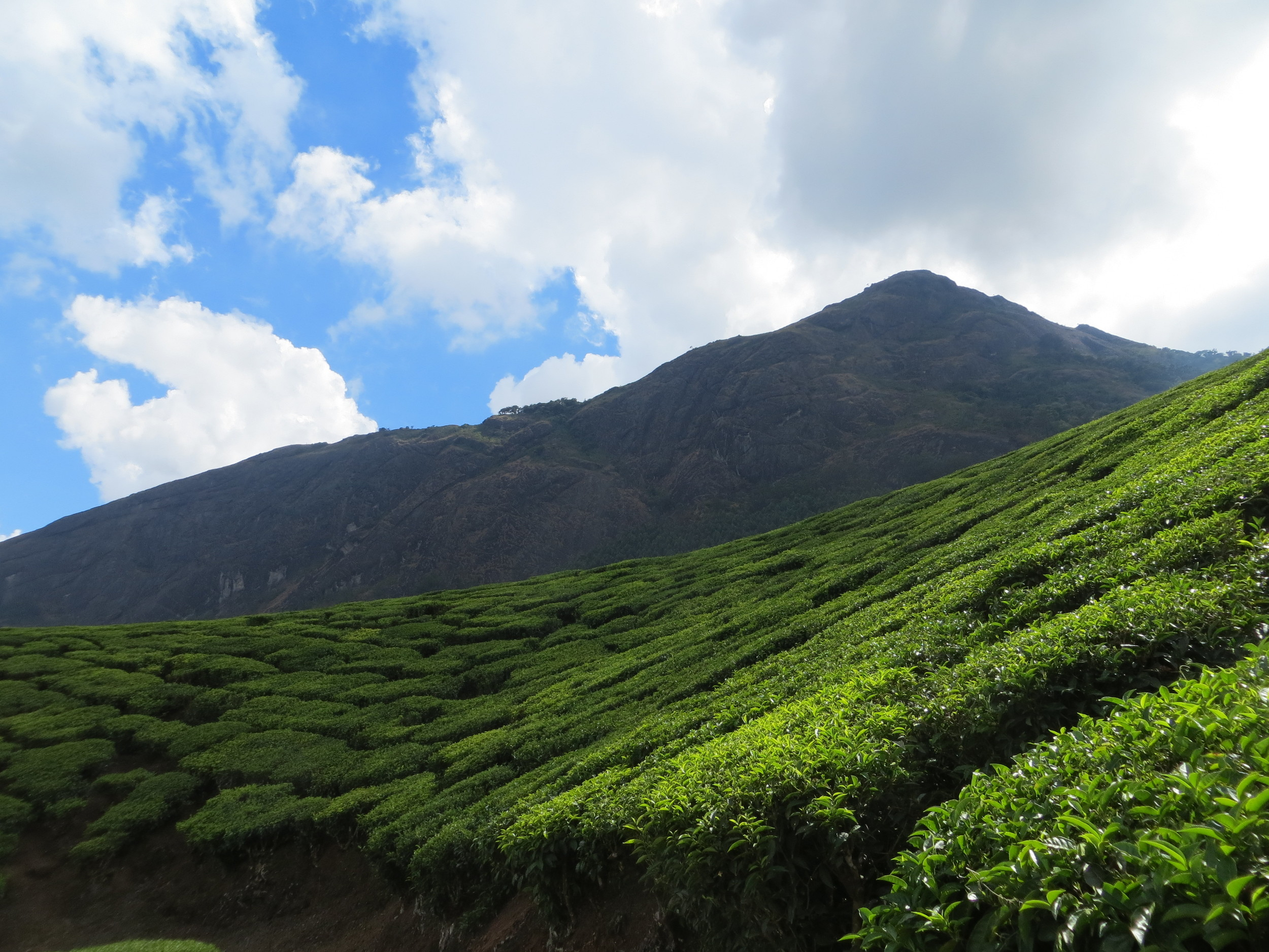 Tata Tea Empire, brilliant green tea fields of Munnar