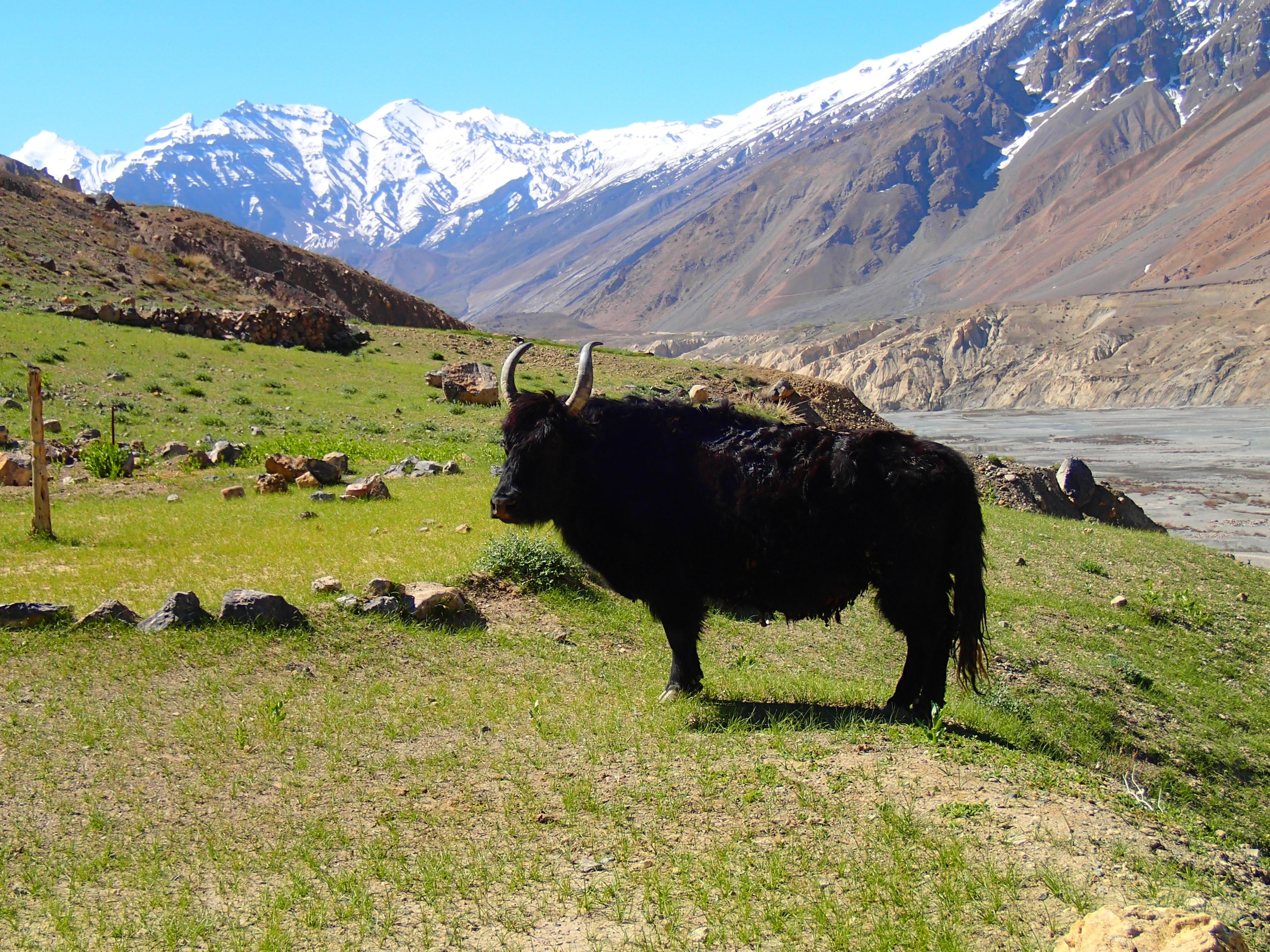 The hills are alive with the sound of yak!