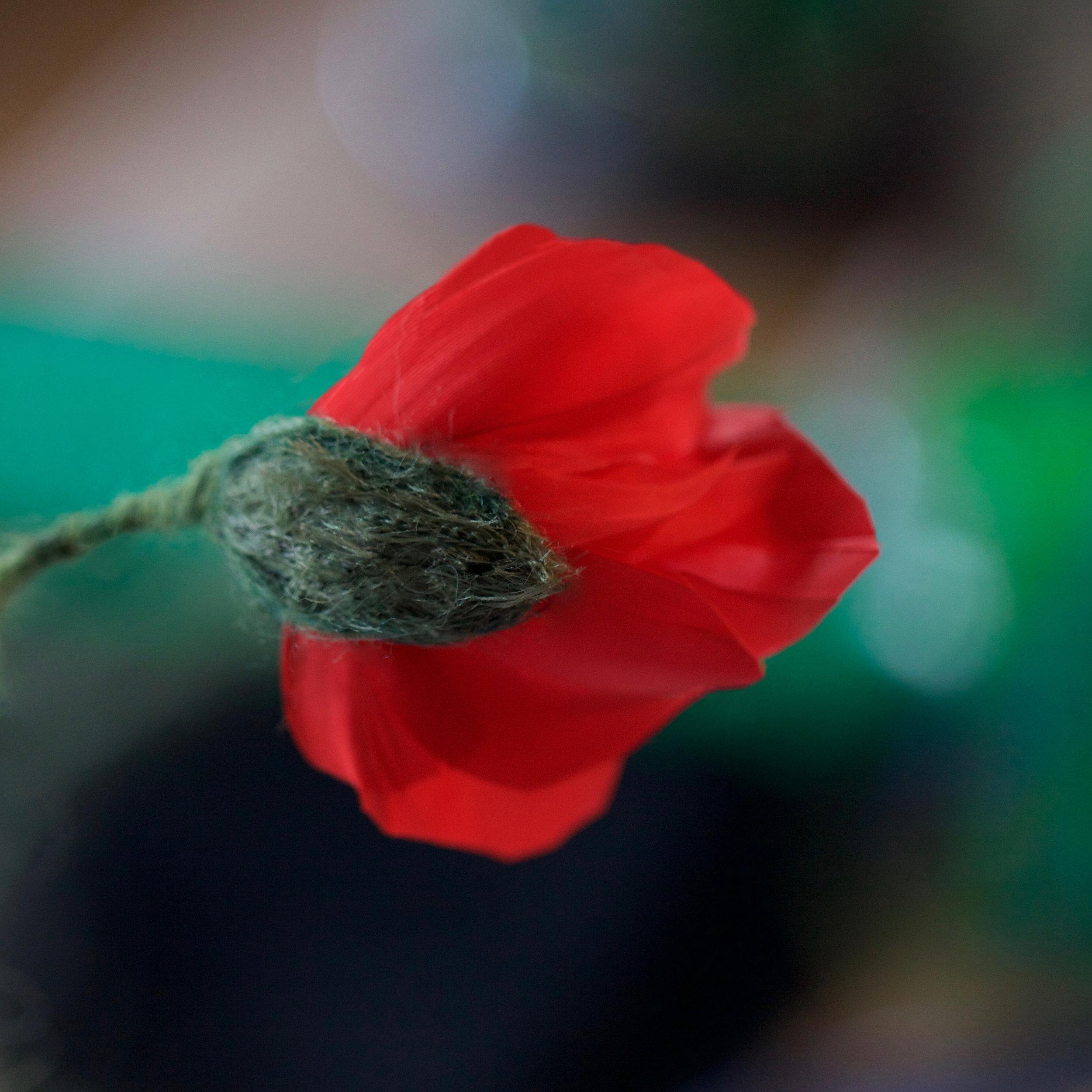 Poppy naissance.jpg