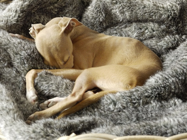charley-chau-faux-fur-dog-blanket-squirrel_grande.jpg