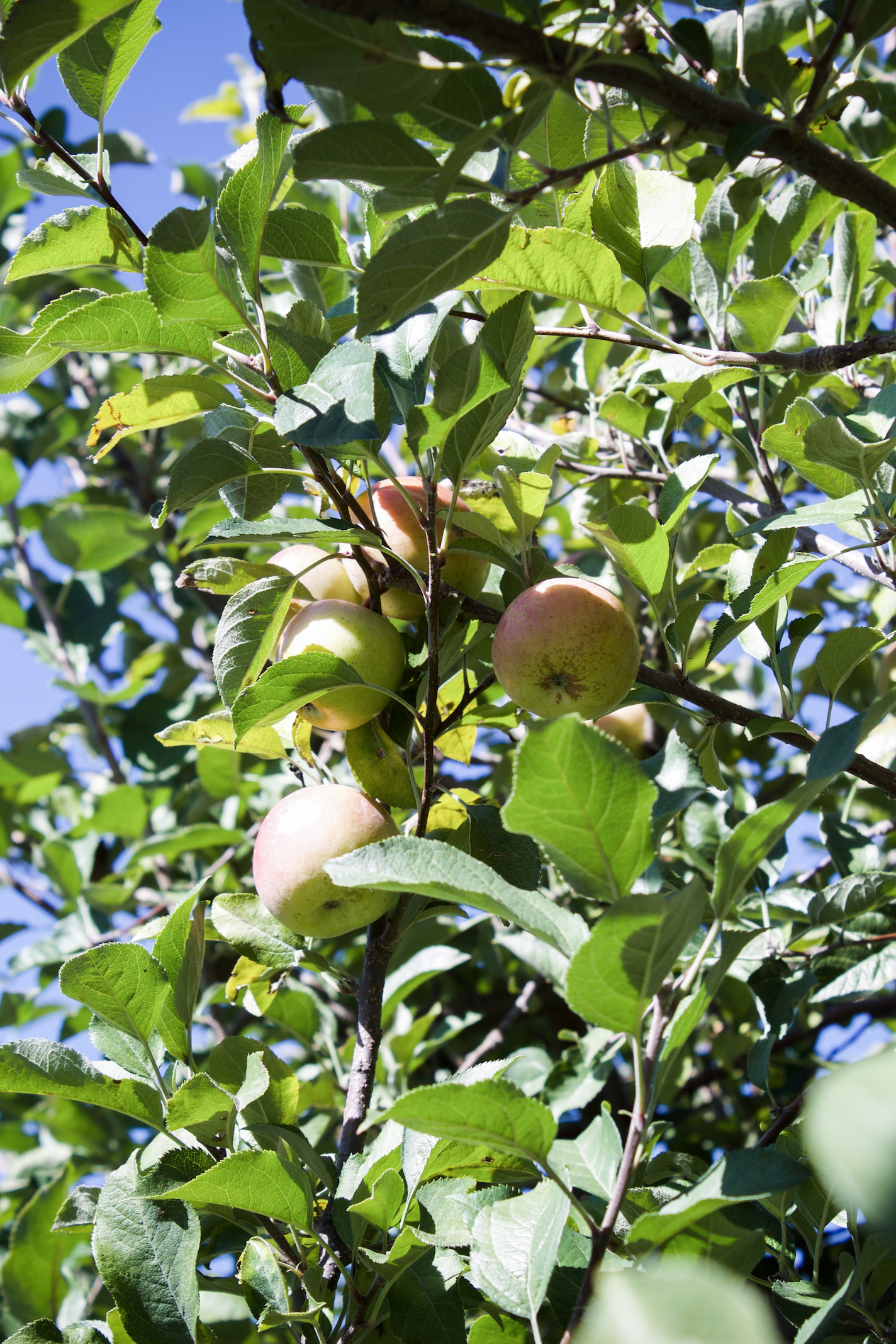 Anderson orchard 1.jpg