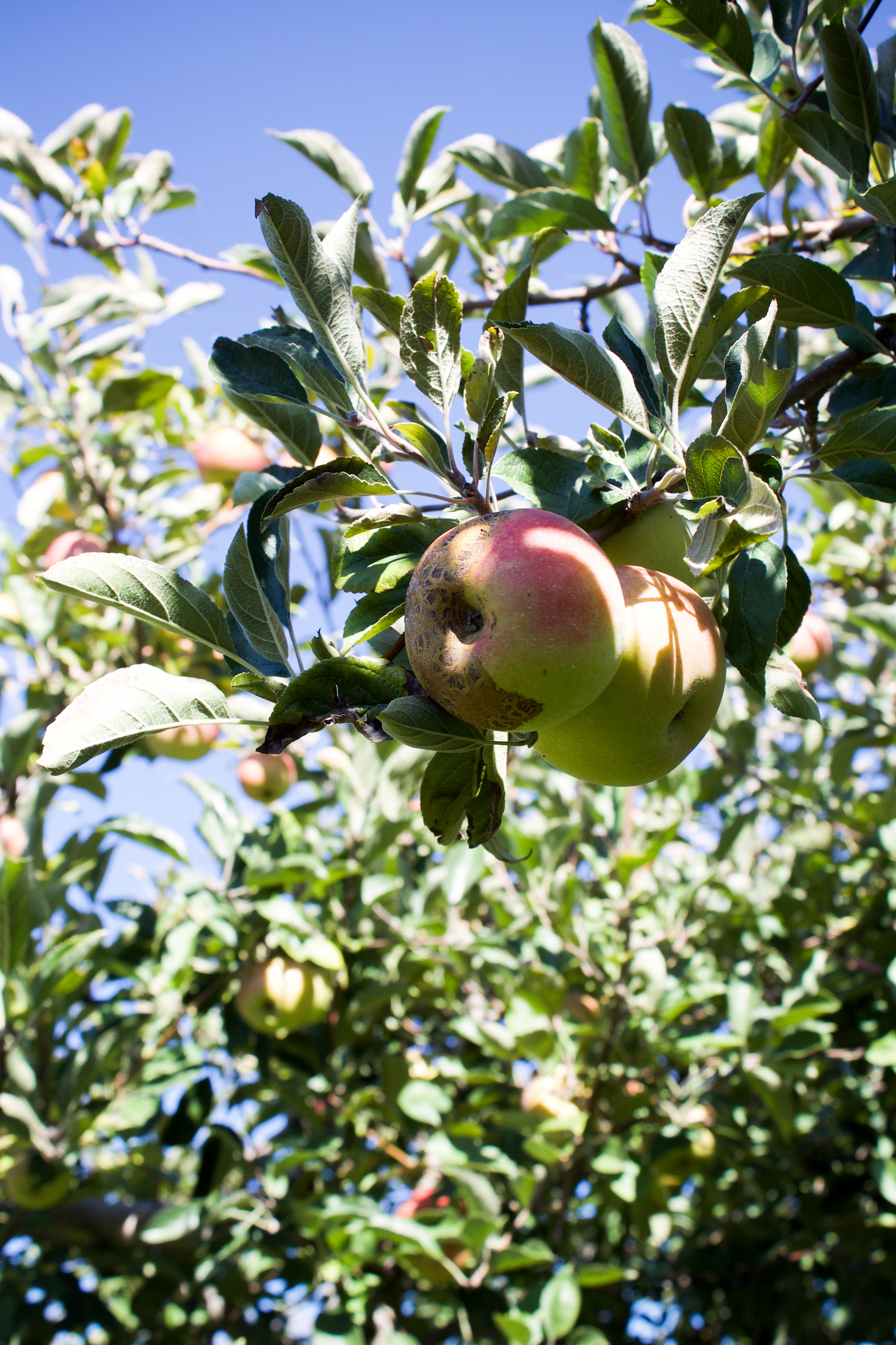 Anderson orchard 10.jpg