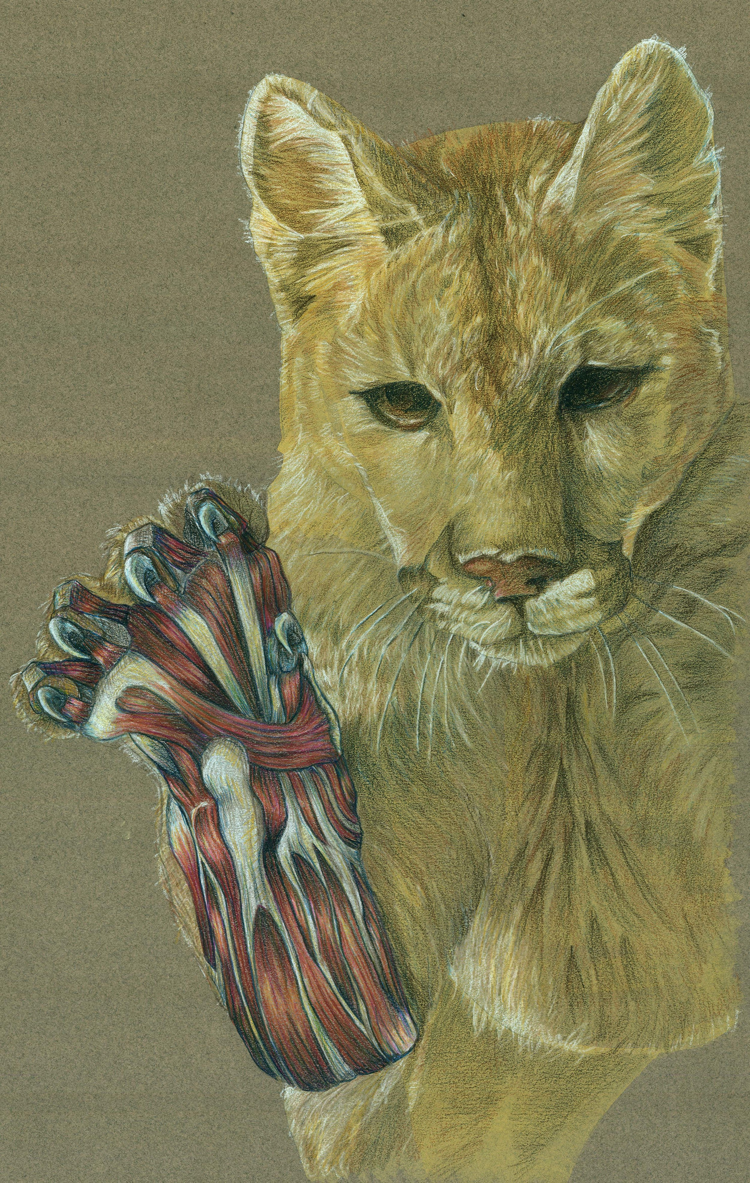 Felis concolor, Mountain Lion