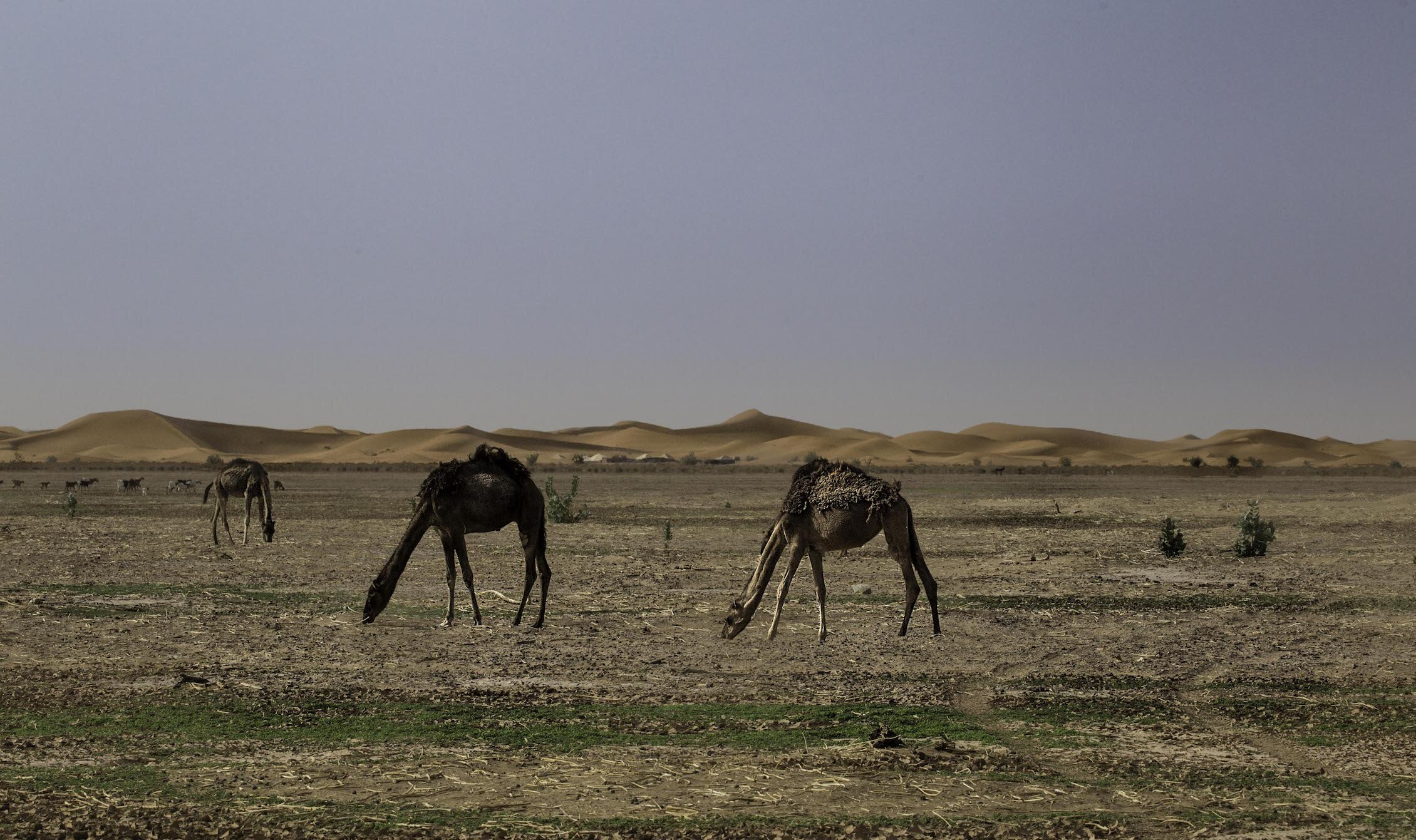 Camels Roam the land while we make our way out of the Sand-Dunes by food getting closer to the Nomadic Family.