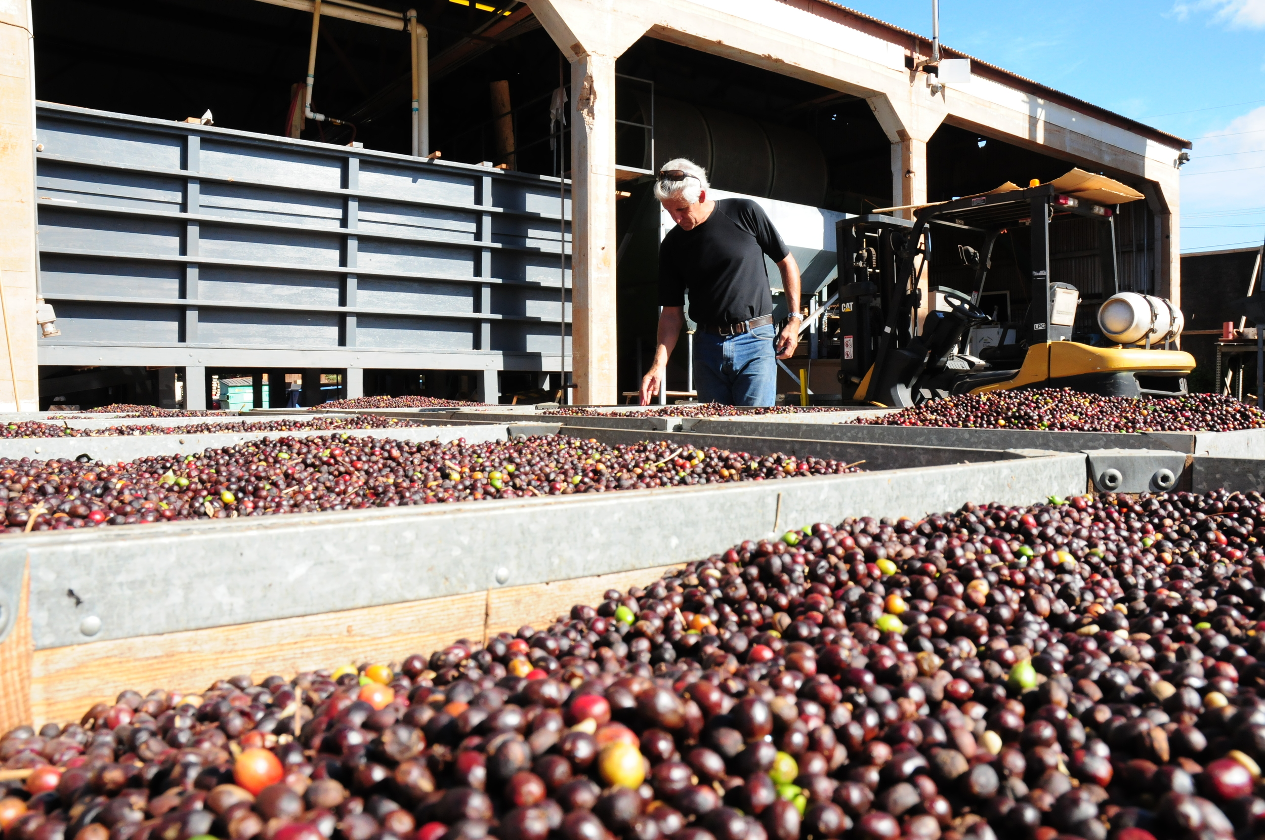 The washed coffee cherries are inspected before they head to the mechanical dryers to ensure even drying.