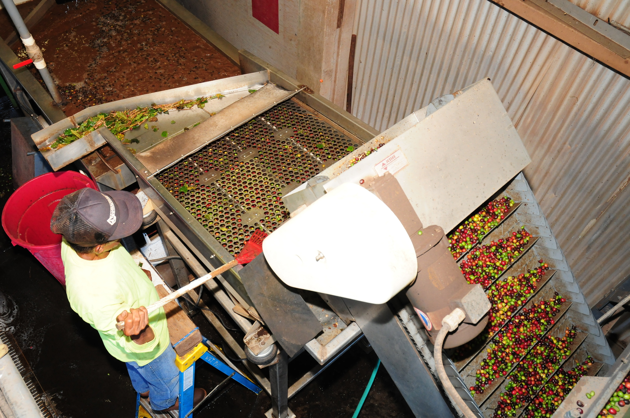 Separation of ripe, under ripe and greens cherries takes place at the wet mill.