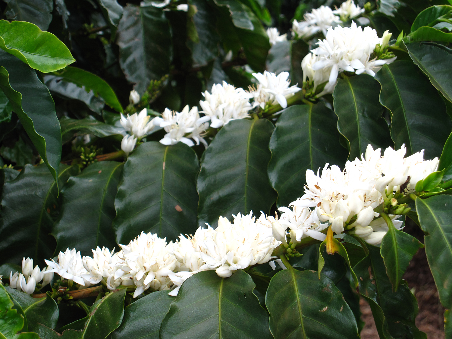 Flower blossoms on coffee tree prior to fruit formation.