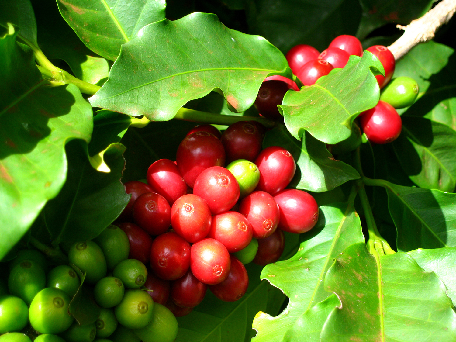 "Trees need at least five or six years of constant care before their first ""coffee cherries"" are ready to be picked. Pictured Red Catuai."