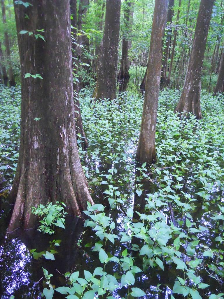 Suwannee Cypresses (photo by Jane Goddard)