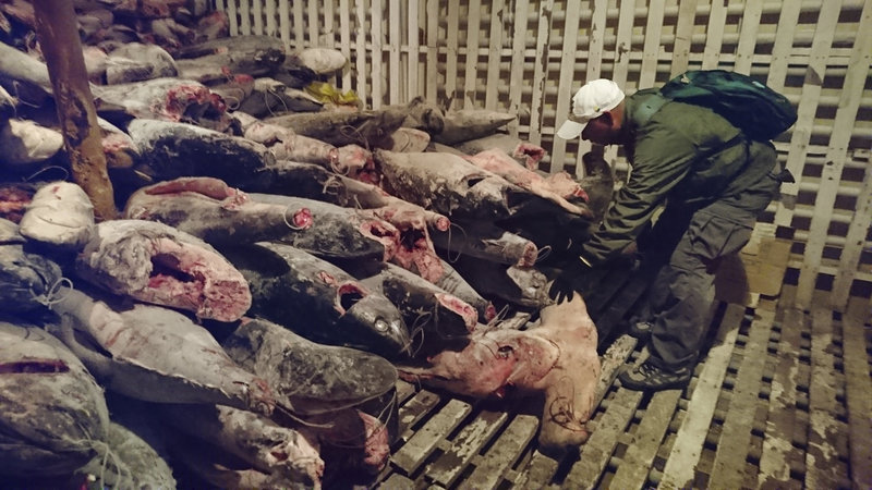 These dead sharks were discovered aboard a Chinese-flagged vessel found off Ecuador with some 300 tons of marine species, several of which are in danger of extinction.  Galapagos National Park via AP