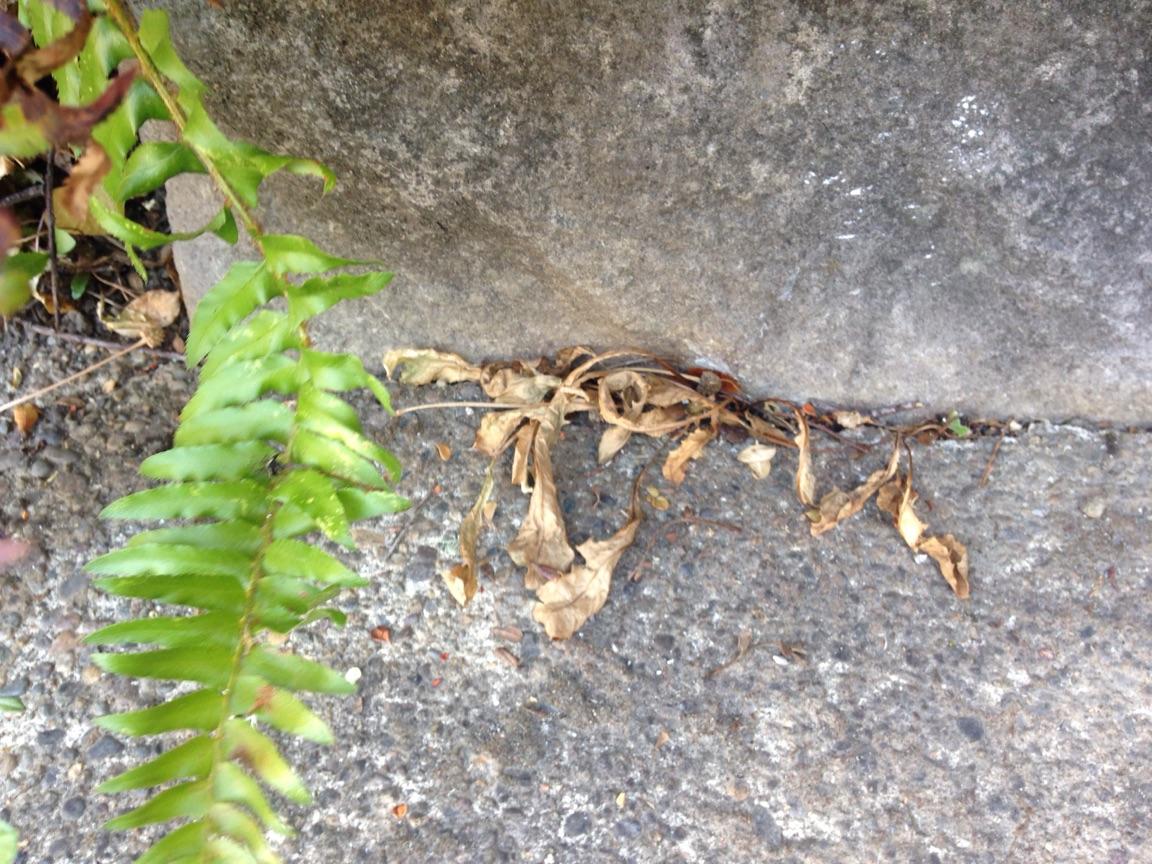 dead dandelions2.jpg