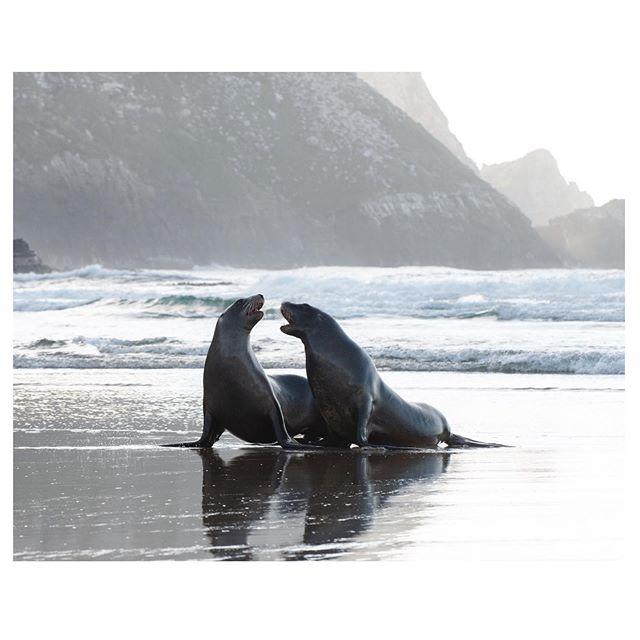 I SAID PARDON? - - - - - #arp #arp #pardon #stopmakingsense #nz #backlit #seal #seallife #arctocephalusforsteri #travelpics #nikon #beatitnerd #justtalkingshit #wildlife