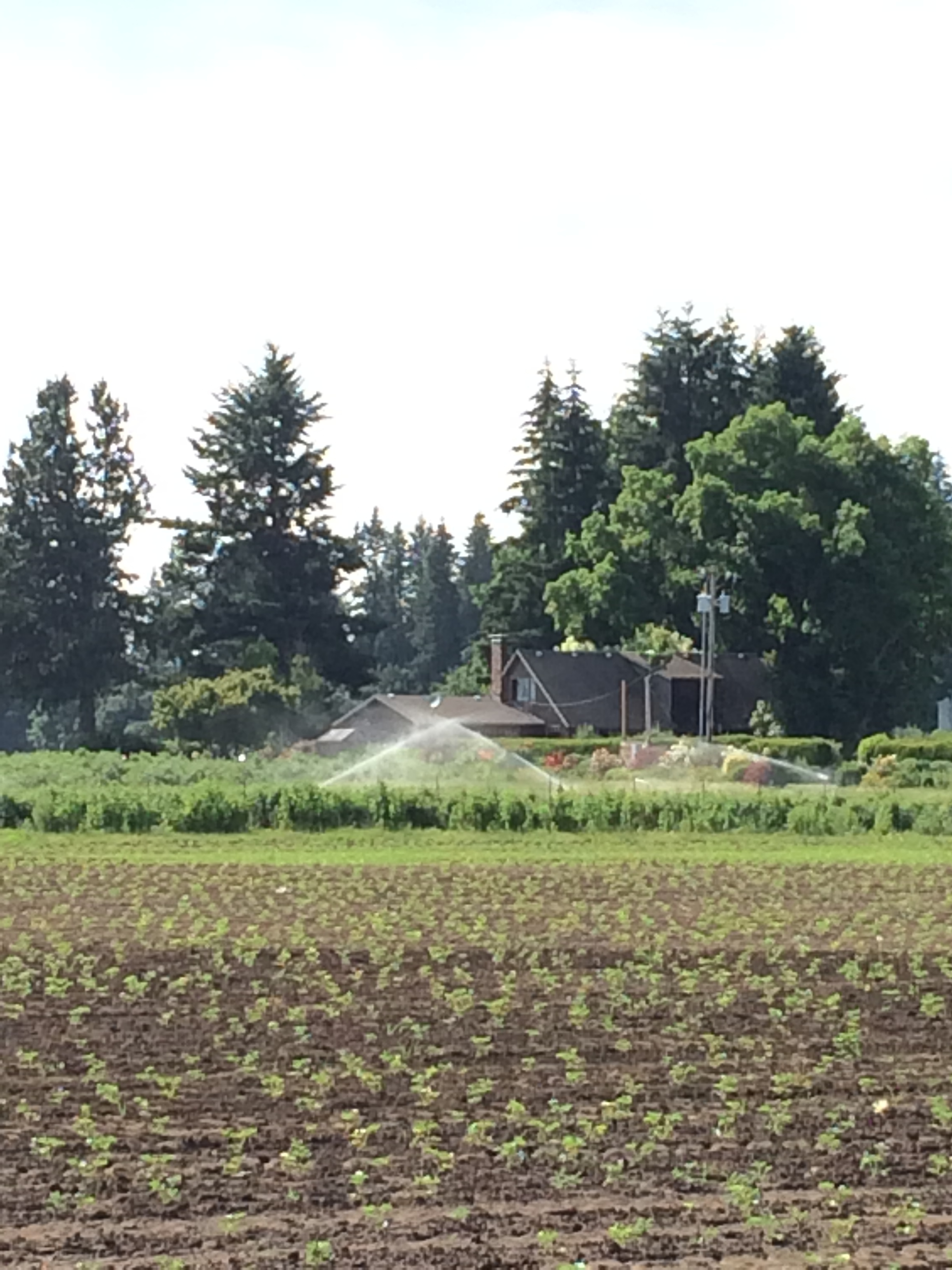 I think this is the most beautiful farm in the Willamette Valley. I am always thrilled to show it to my customers. Those little plants in the foreground are baby strawberries.