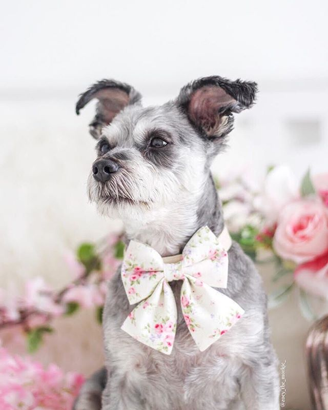 Miss Zoey is always stealing our hearts! She looks so cute in bows and her mom @theartisticsparrow takes the most amazing photos 💕  Photo: @zoey_the_morkie_