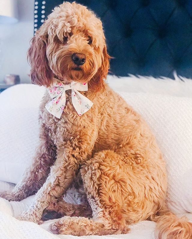 It's always a pleasure to see our customers grow up! Swipe right to see @cloverthedood as a little puppy 😍  Thanks for letting us accessorize your from puppyhood till now!