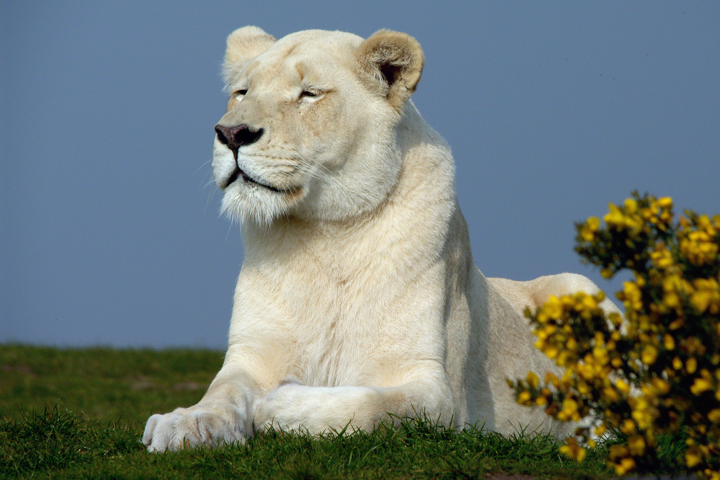 White lioness, West Midlands Safari Park, Bewdley, Worcs.
