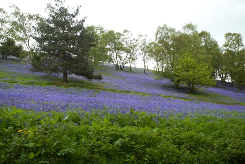 Bluebells, Jubilee Drive, Worcs.