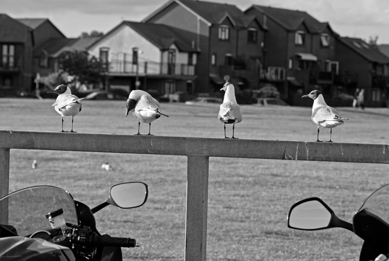 Seagulls,Poole, Dorset