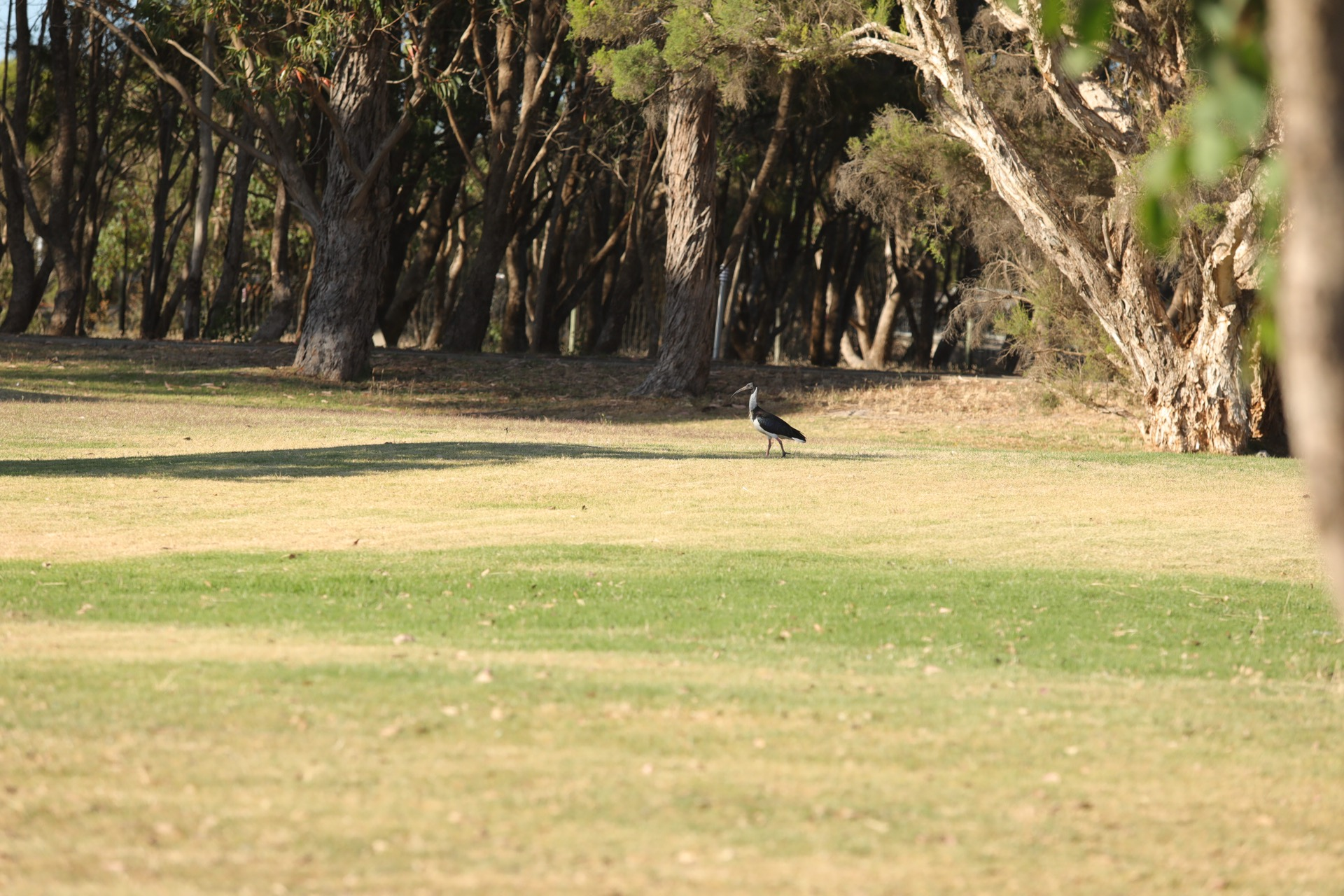 Ibis in our camp