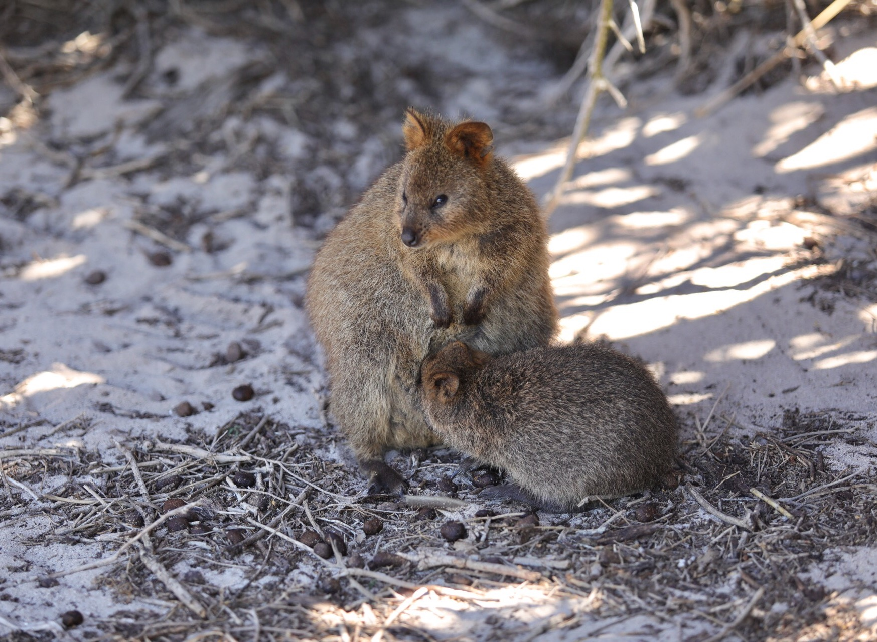 Mother quokka with baby