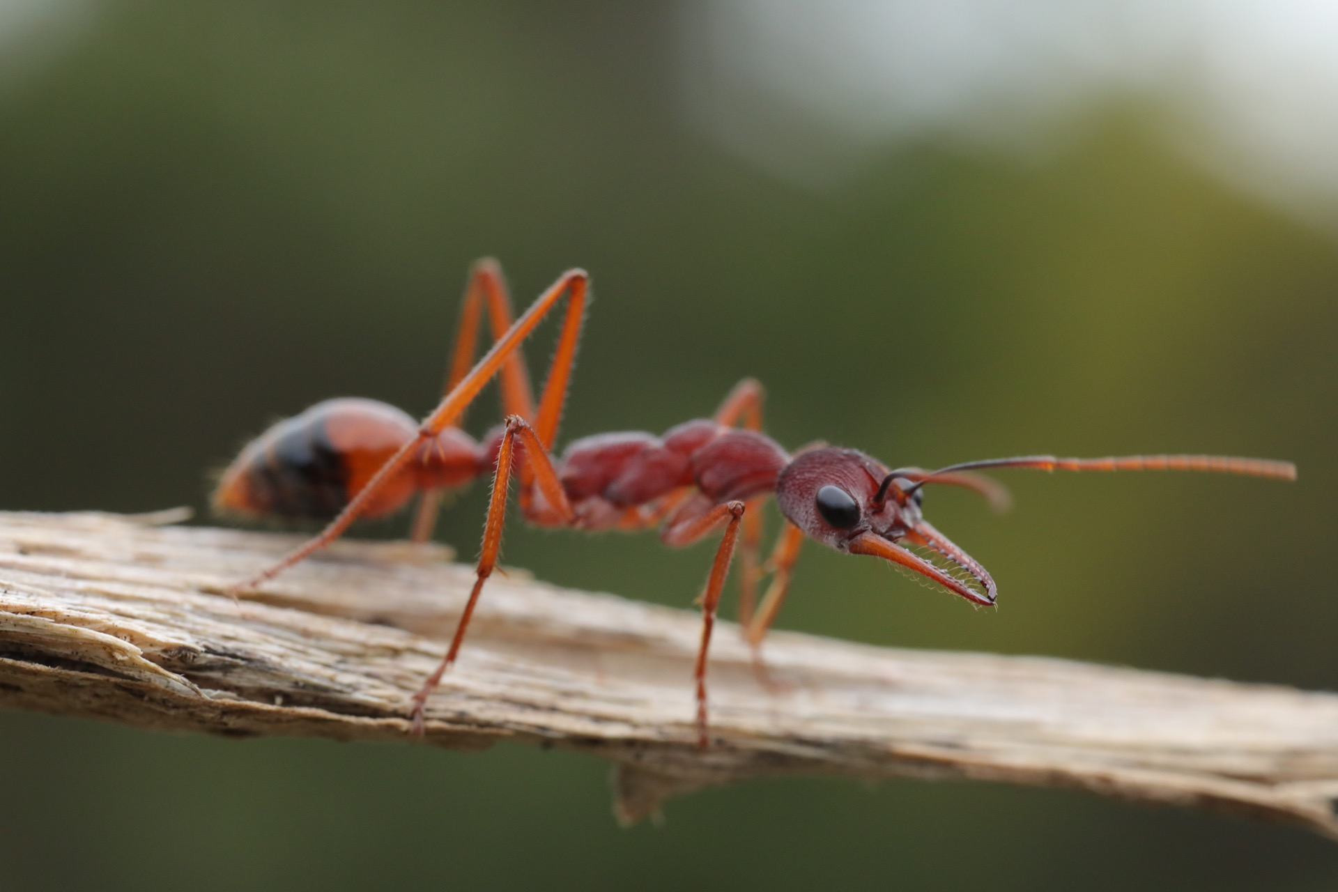 Finding an 'inch' ant!