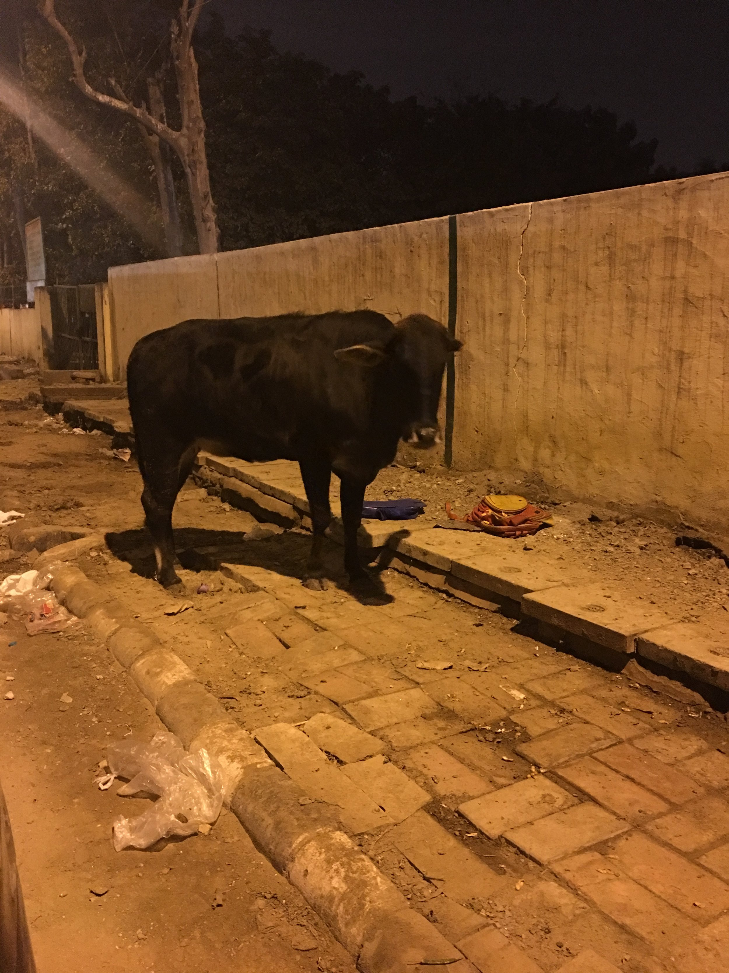 Sacred cow on a typical pavement in outer Delhi