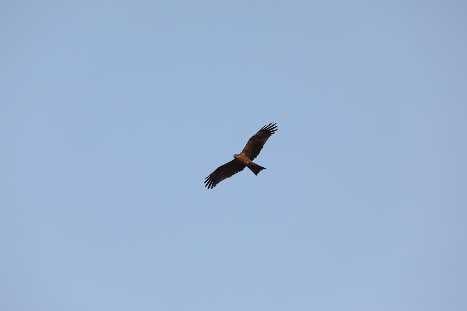 Not sure if it's an eagle or a kite but lovely anyway :)