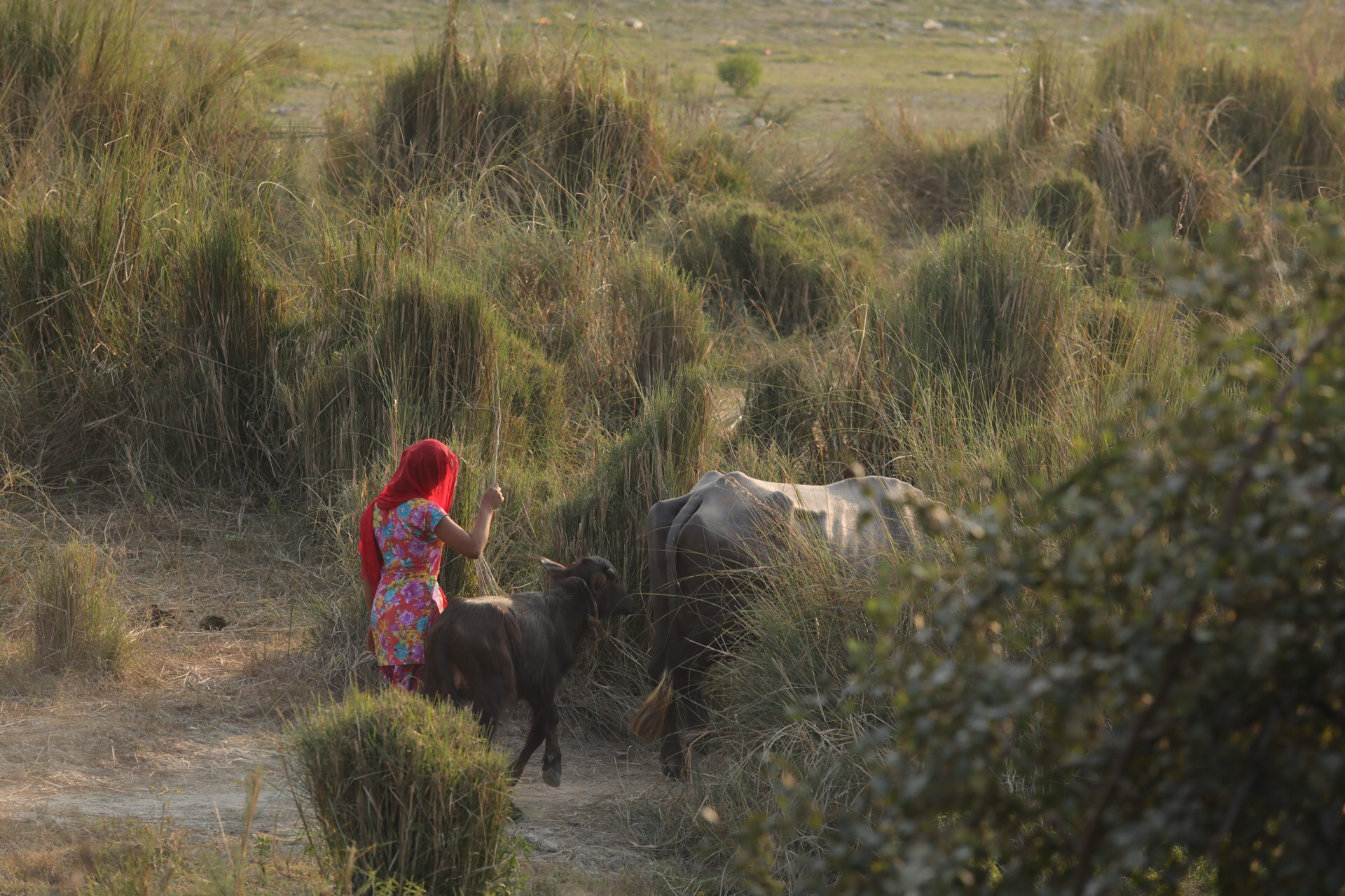 Girl herding water buffalo