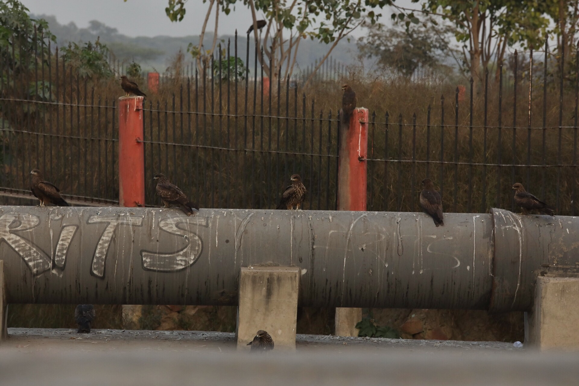 How many birds of prey can you fit on a sewage pipe?!