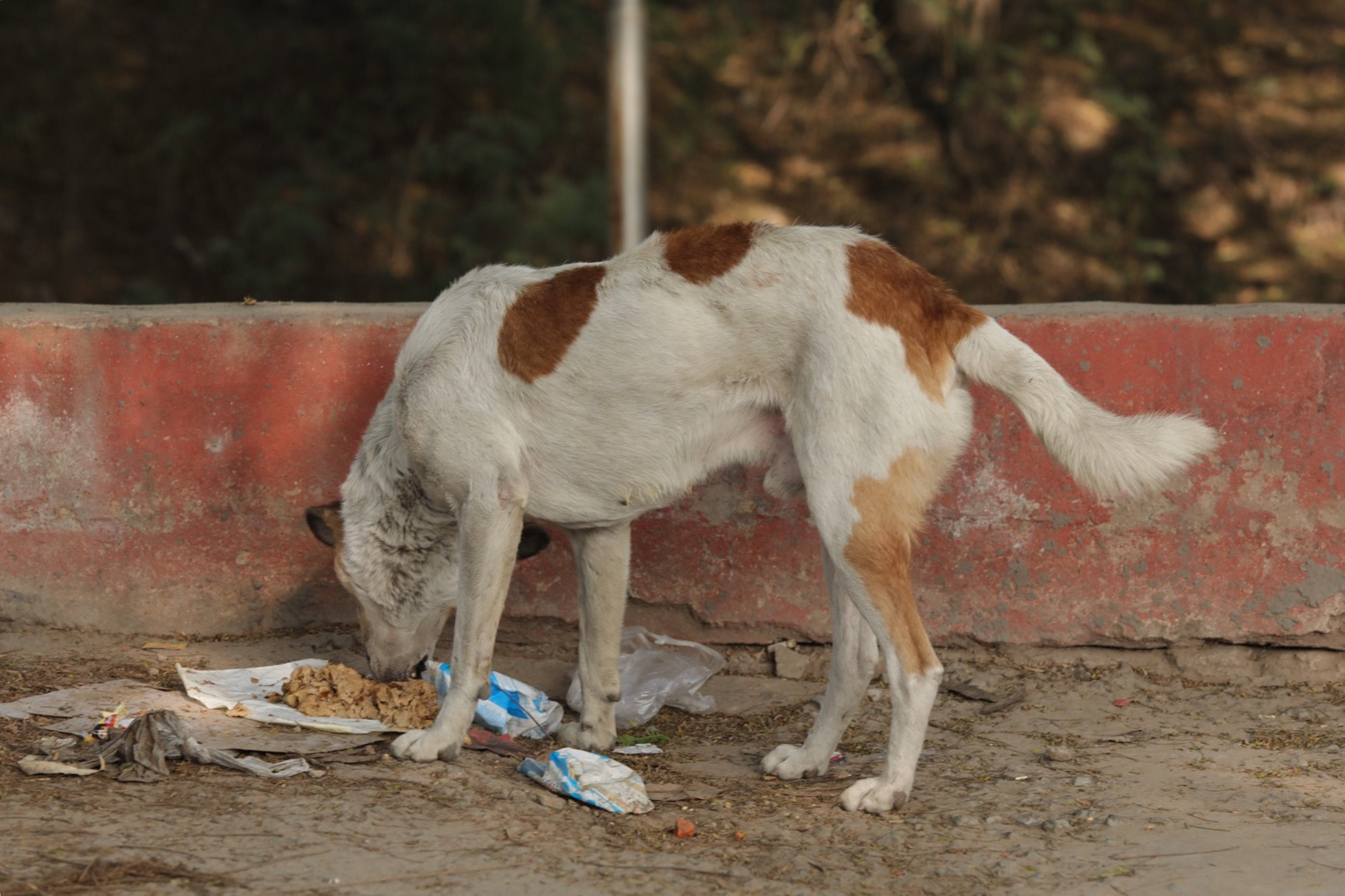 People do put food out for the street dogs although it's obvious they are all riddled with fleas. This one looks quite good but so many are clearly full of mange :(