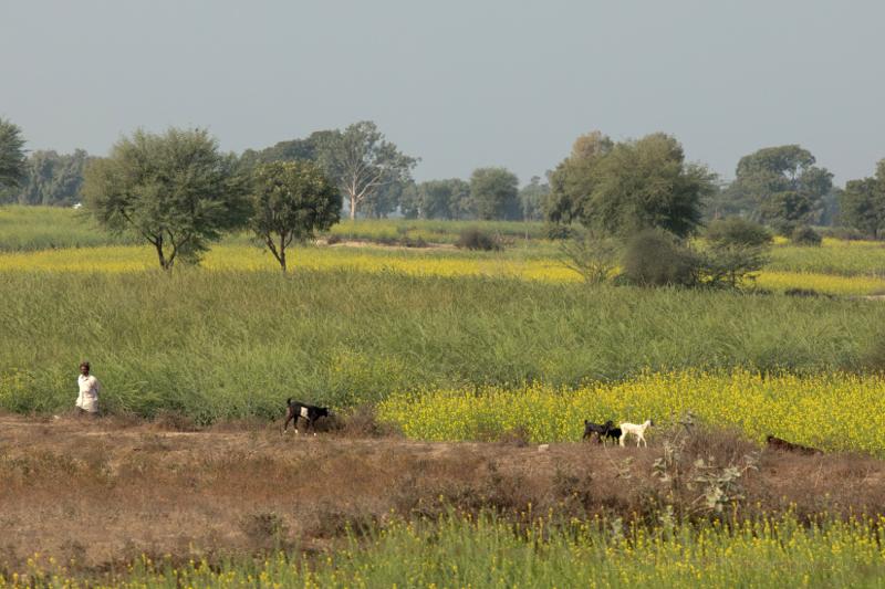 Goats, Barauli, Mat, Uttar Pradesh, India