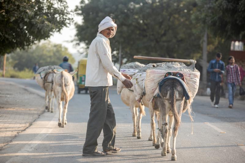 Mules working hard, Agra, Uttar Pradesh, India