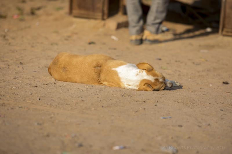 Sleeping street dog, Agra, Uttar Pradesh, India